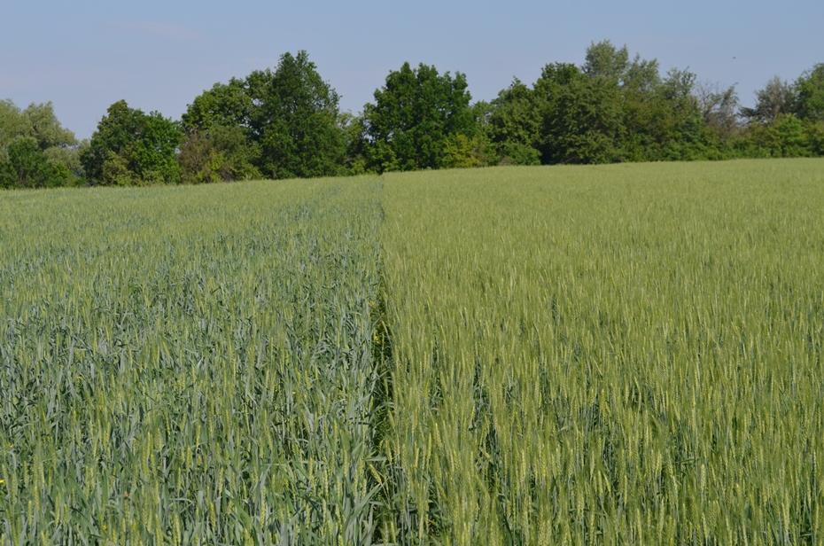 Посевы пшеницы в фазе начала цветения (слева контроль, справа UKRAVIT)