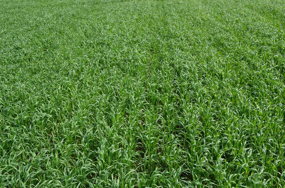 Посевы пшеницы в фазе кущения, обработанные препаратами UKRAVIT