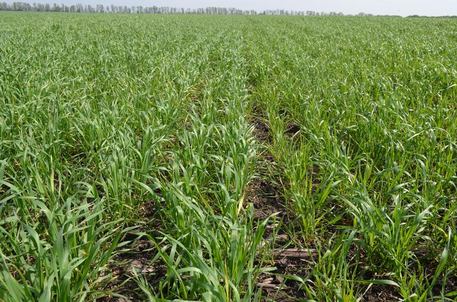 Посевы пшеницы в фазе кущения (контроль)