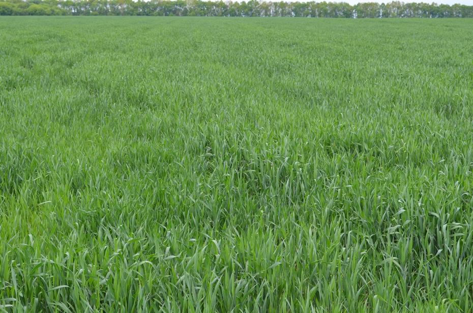 Посевы пшеницы в фазе флагового листа (контроль)