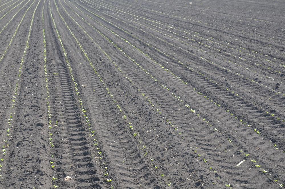 Посевы сахарной свеклы, где применялся гербицид компании UKRAVIT