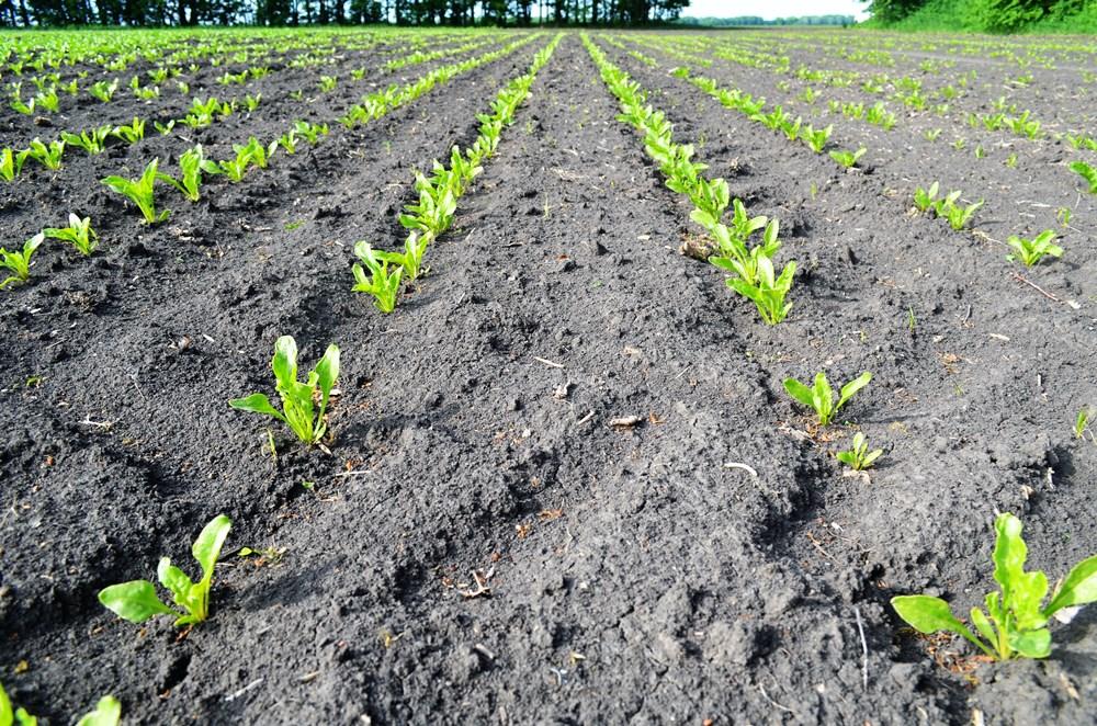 Посевы свеклы сахарной, обработанные препаратами UKRAVIT