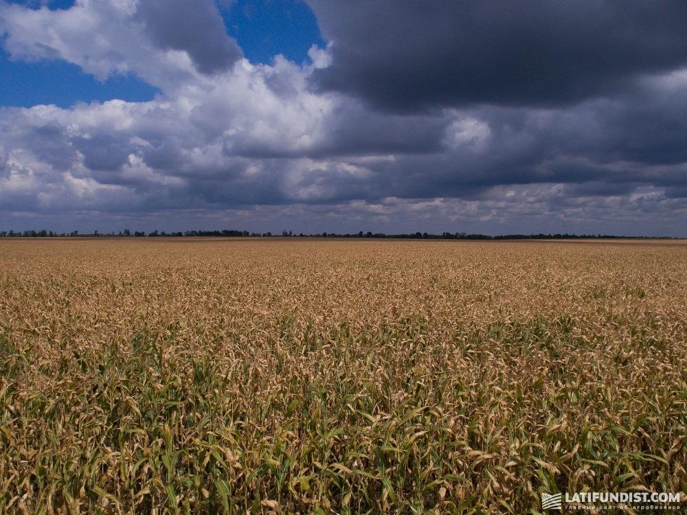 Посевы кукурузы хозяйства «Лан-Агро»
