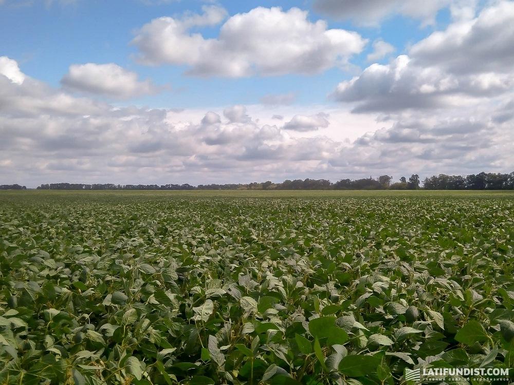 Это поле засеяно соей сорта Хорол