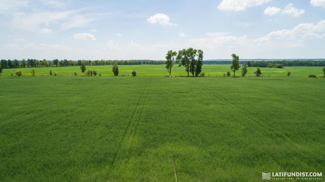 Нас встретило зеленое, без пробелов, поле, в котором рожь уже выбрасывала колос