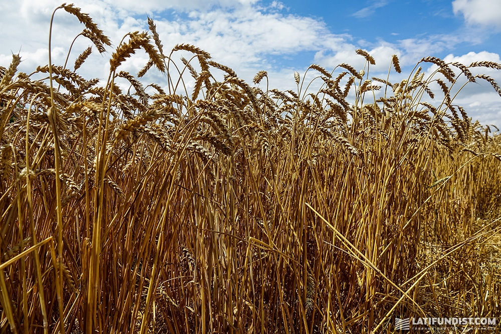 Пшеница в поле предприятия выглядит здоровой