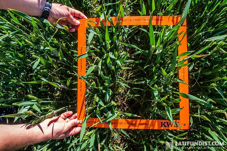 Измерение густоты посева яровой пшеницы