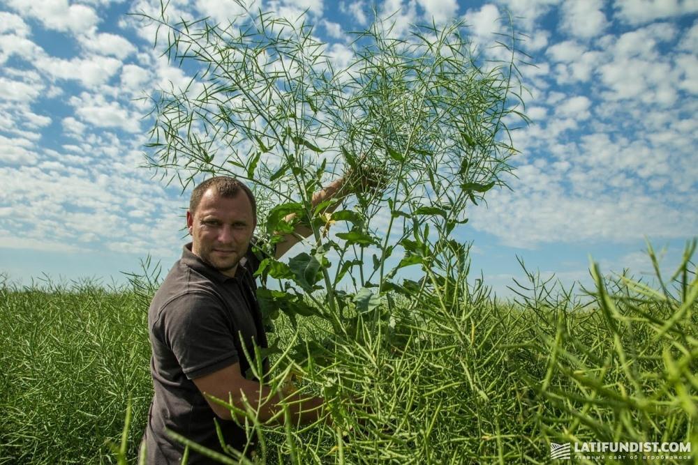 Святослав Гриневич показывает высоту посевов озимого рапса на поле хозяйства «Агро-Эко ХХІ плюс»