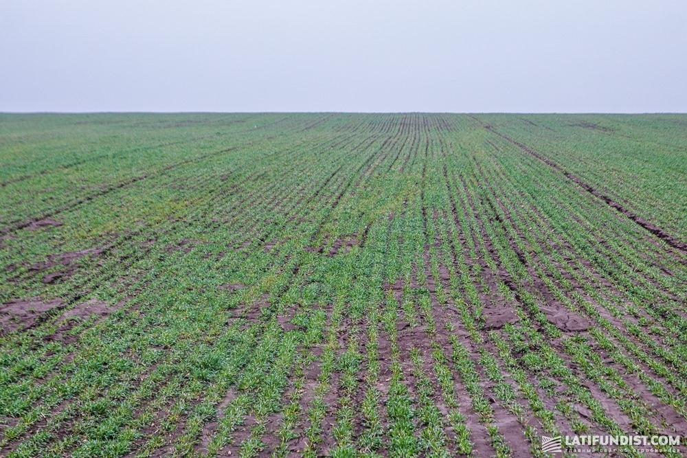 Состояние посевов озимой ржи в марте было хорошее