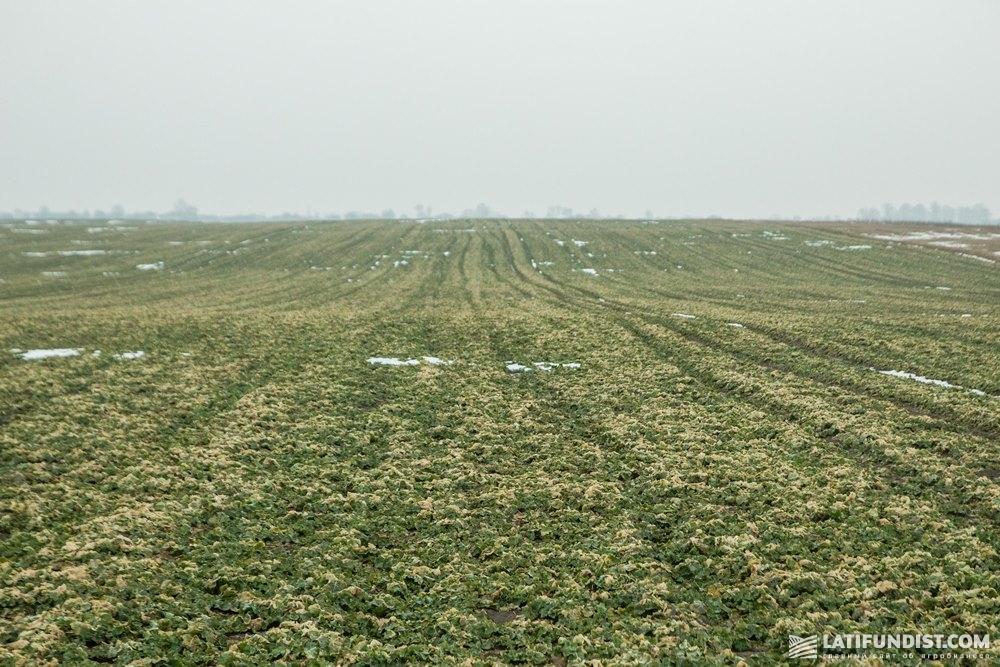 Посевы озимого рапса фермерского хозяйства «Соломия»