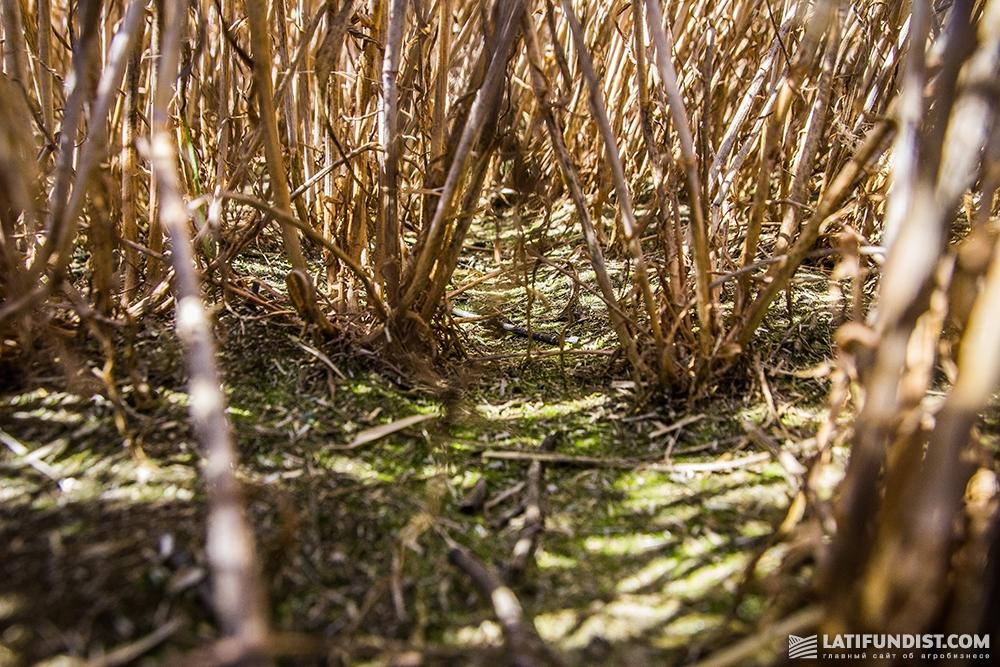 Осыпавшегося зерна у гибридов ржи компании «КВС-УКРАИНА» практически нет