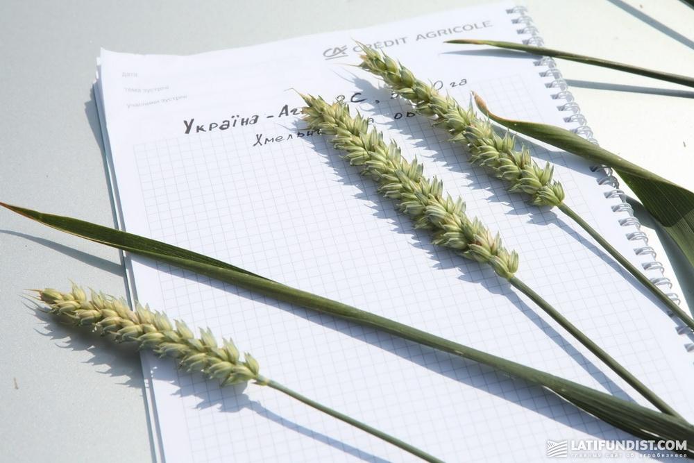 Пшеница сорта Колониа