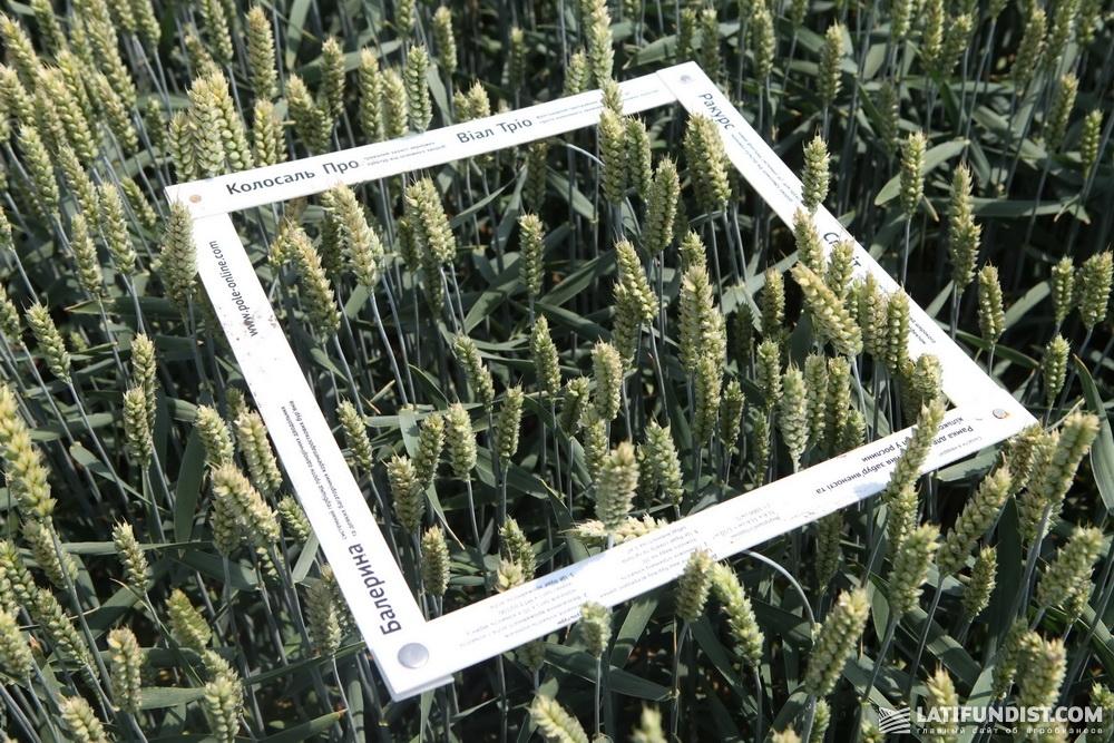 Одного взгляда было достаточно, чтобы сказать, что урожай будет отличным, но мы все же достали рамку и калькулятор