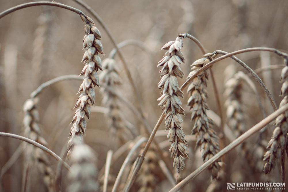 Пшеница на предприятии «Лампка Агро»
