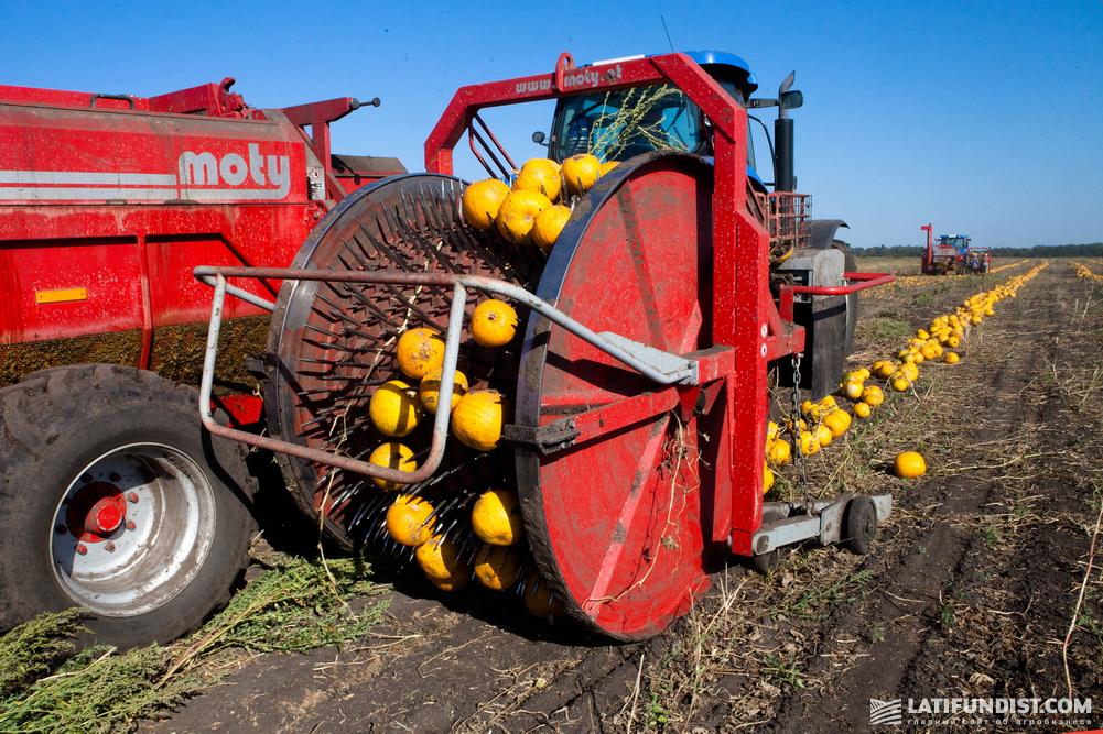 Уборка урожая штирийской тыквы