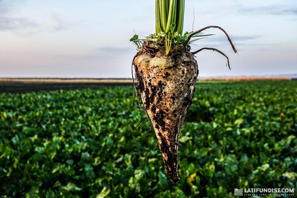 Выращивание сахарной свеклы на кубани 6