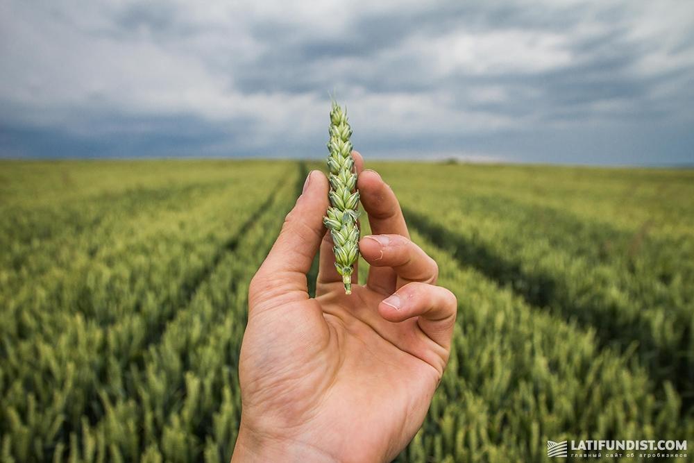 Пшеница предприятия «ИДЕК-2006»
