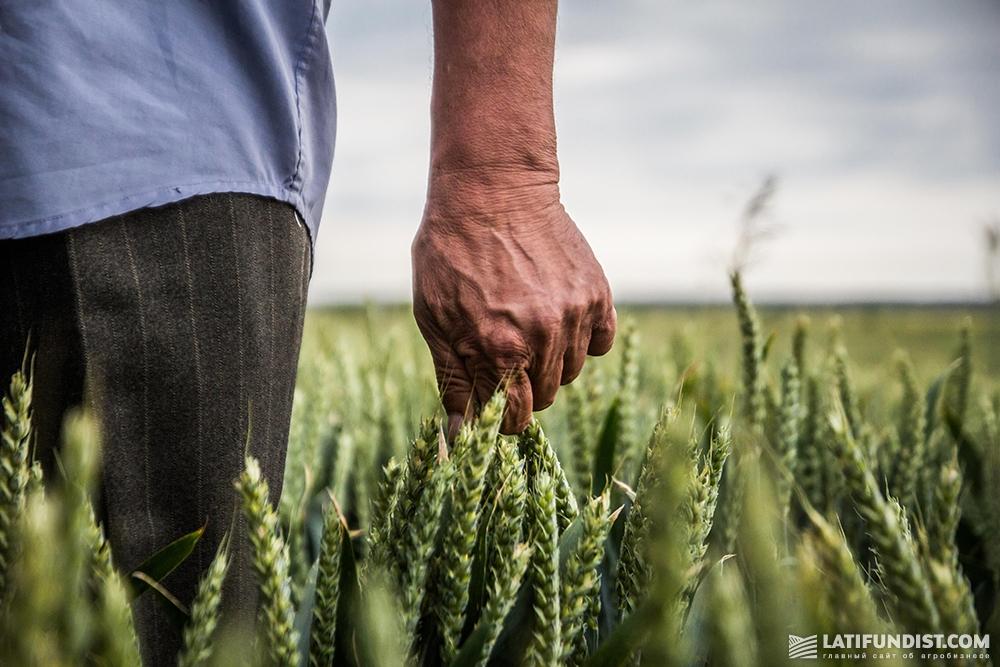 Пшеница в этом году ничуть не хуже, чем в прошлом
