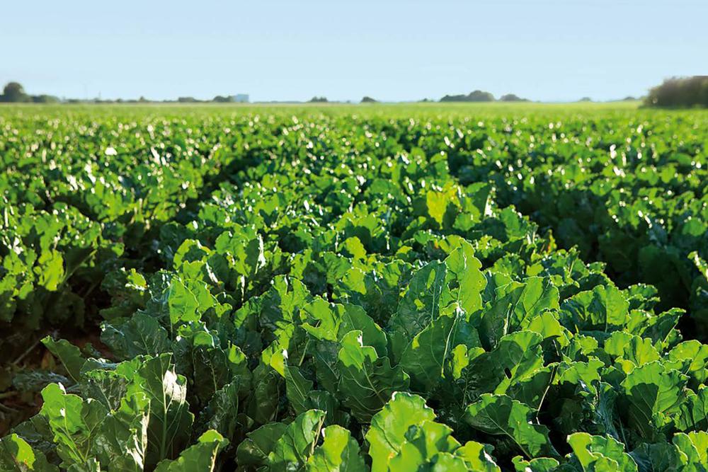 Применение Sugar Beet Success Technology обеспечивает максимальную прибавку урожая высокого качества