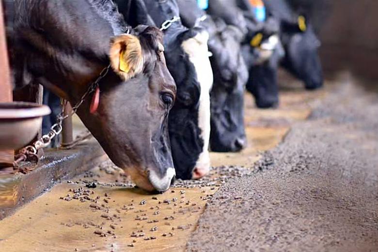 Коровы едят концентрированный корм