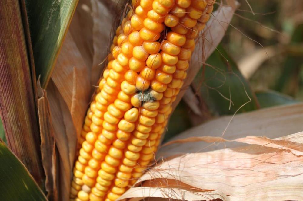 Кукуруза, пораженная афлатоксином
