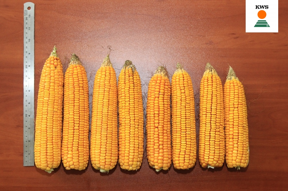 Формирование початков гибрида Керберос ФАО 310 при различной плотности выращивания