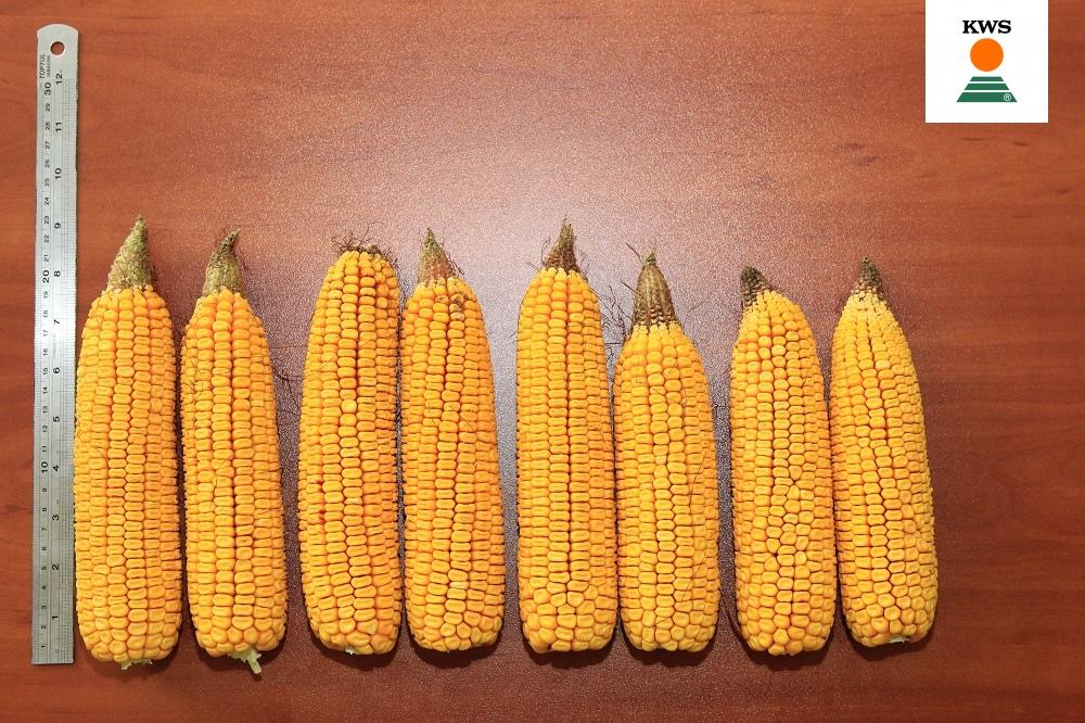 Формирование початков гибрида КВС 2370 ФАО 280 при различной плотности выращивания