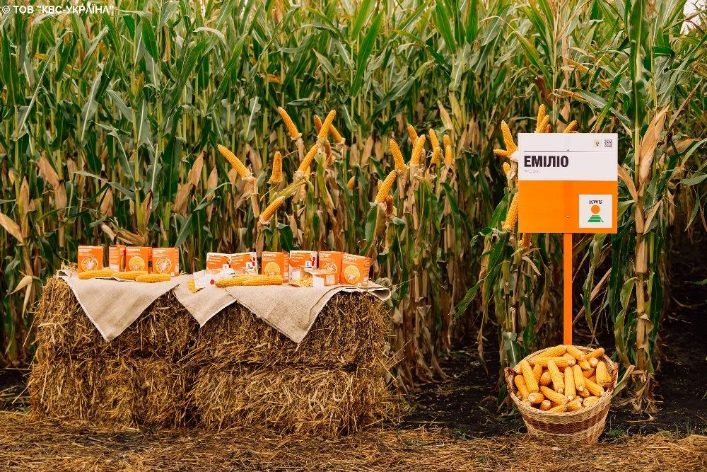 Демонстрационные посевы гибрида кукурузы селекции KWS ЭМИЛИО