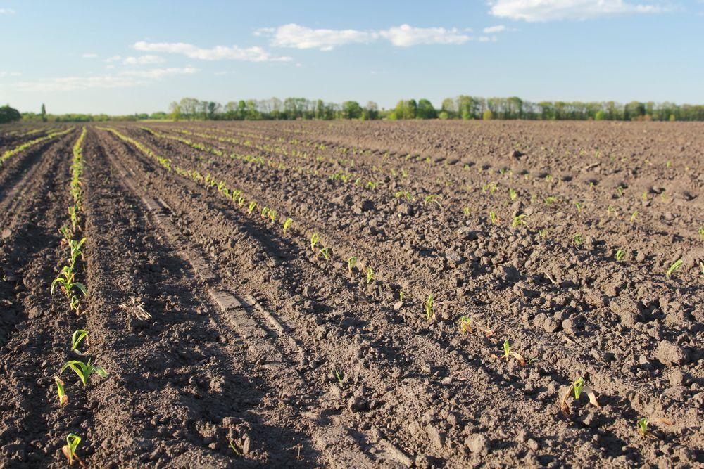 Всходы кукурузы на 7-й день после заморозков. Растения находились в одной фазе на момент заморозка, начали равномерное отрастание