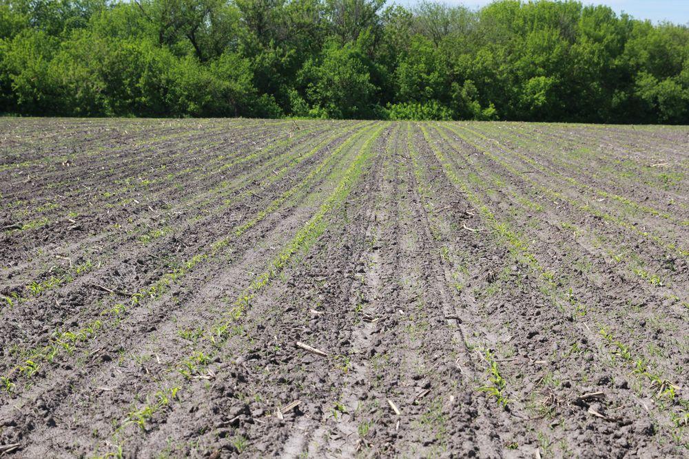 Неравномерное развитие растений вызвано некачественной подготовкой почвы и разной глубиной заделки семян