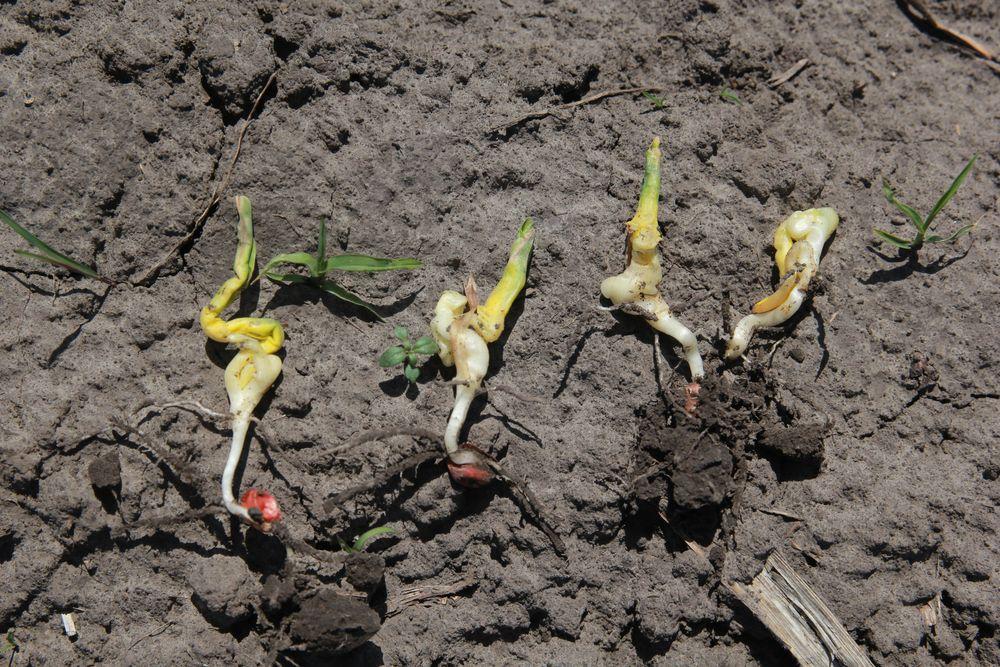 Деформация ростков кукурузы вызванная перепадами дневных и ночных температур