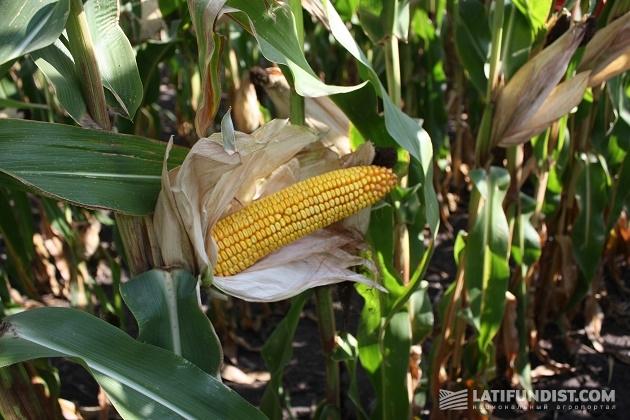Спелый кукурузный початок