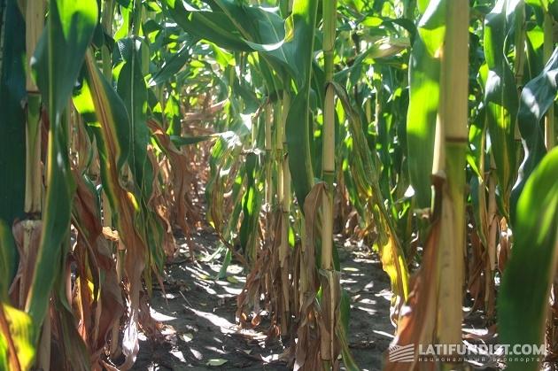 Кукурузные стебли