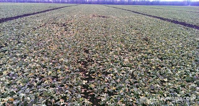 Густота стояния гибридов «Триангель» и «Тассило» — 58 растений /м2