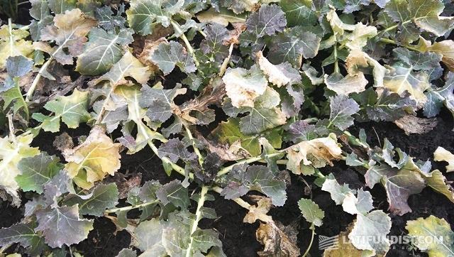 Гибрид «Тассило». Состояние растений аналогично «Триангелю»