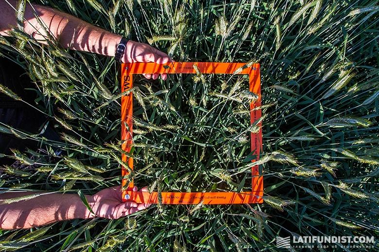 Измерение густоты посева ржи