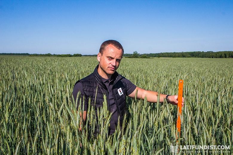 Игорь Давидюк, продакт-менеджер компании «КВС-УКРАИНА», измеряет высоту посевов