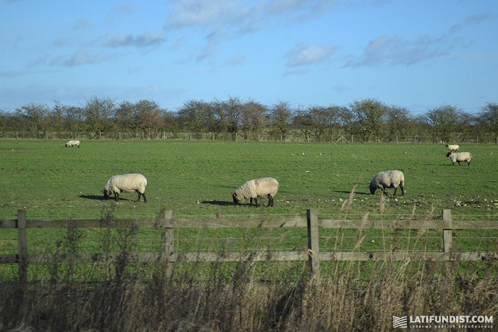 Небольшое стадо овец на поле Великобритании