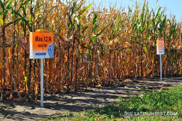 участки с кукурузой