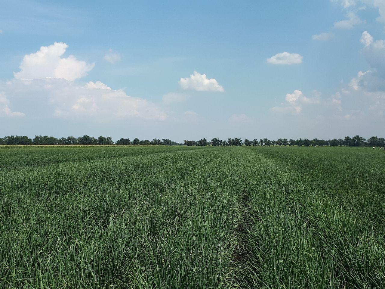 Посевы лука компании «Гринвил ЛТД»