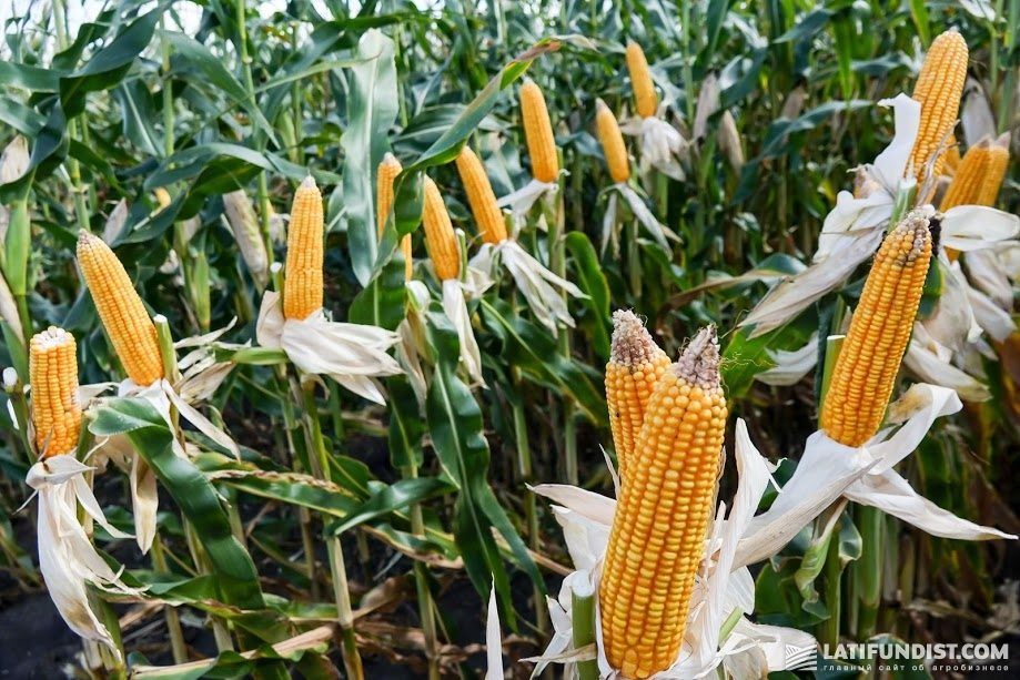 Ukrainian farmers choose to grow corn due to high margins and a transparent market
