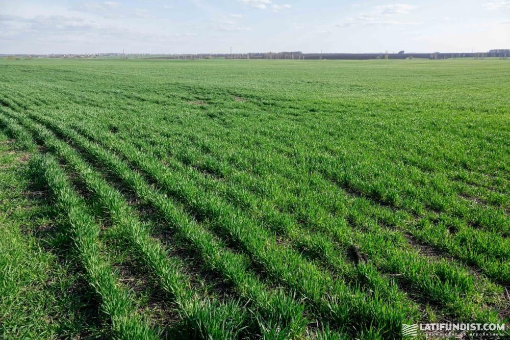 Озимая пшеница, вырощенная по технологии No-till