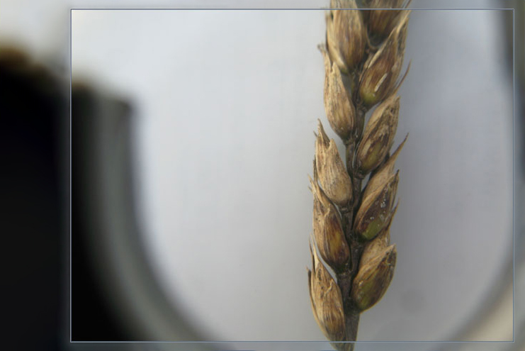 Пшеница, поврежденная грибом альтернарией