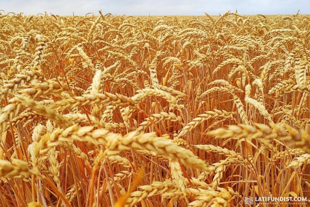 Пшеница урожая 2019