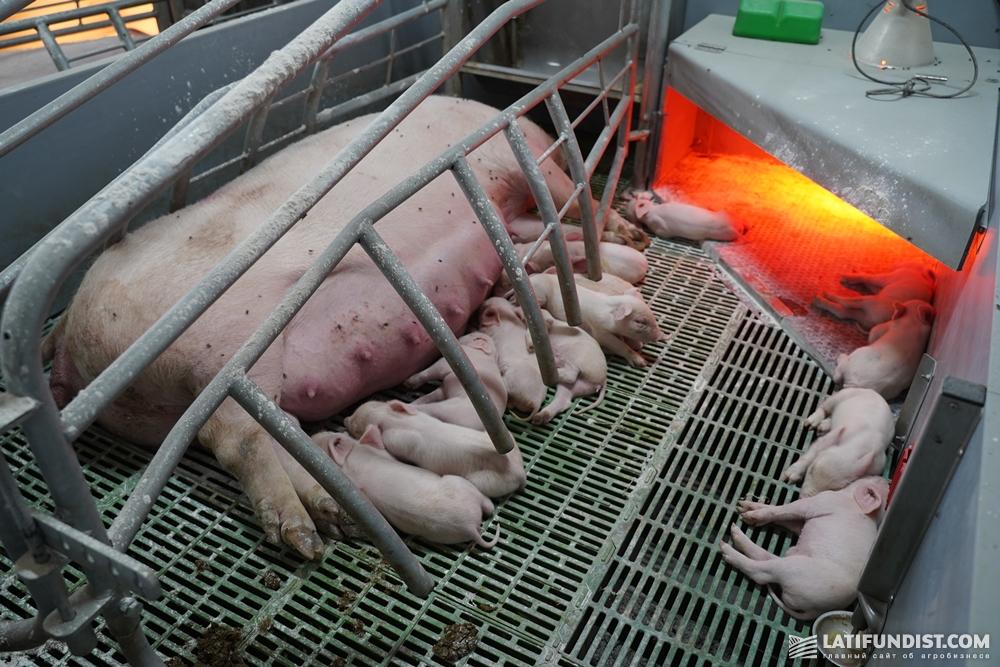 Свиньи на ферме группы компаний VITAGRO
