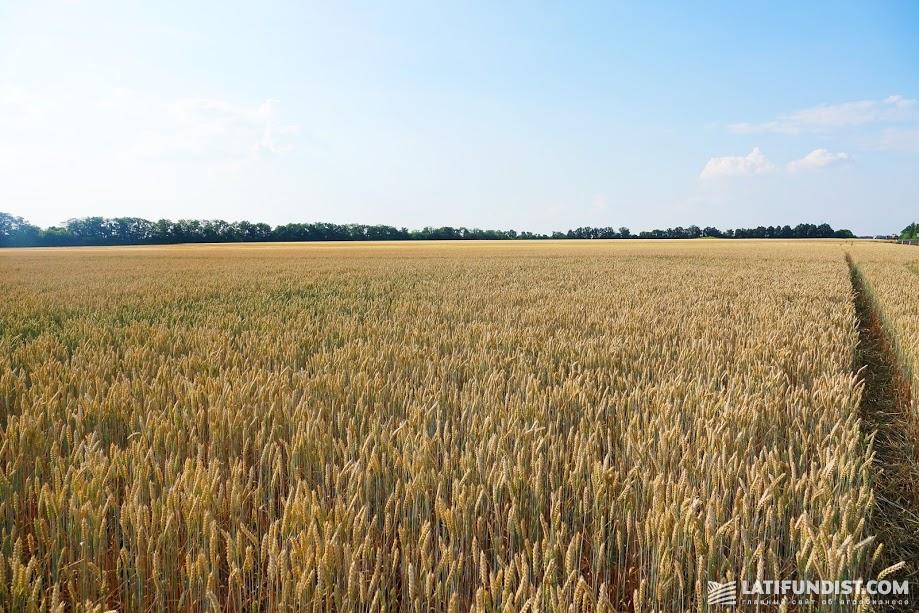 У нас будет достаточно пшеницы и для экспорта