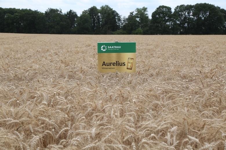 Озимая пшеница АУРЕЛИУС селекции SAATBAU