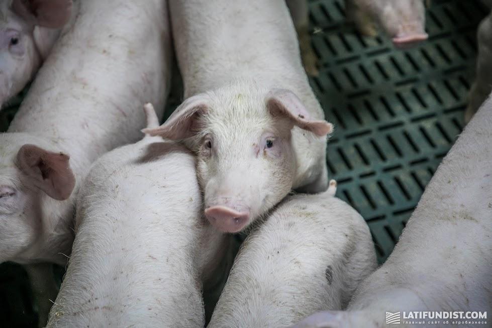 На 2019 Китай планировал импортировать 6 млн свинок/2,2 млн тонн свинины, но эти цифры уже нужно рихтовать