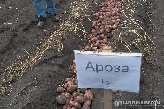 Сорт картофеля «Ароза»