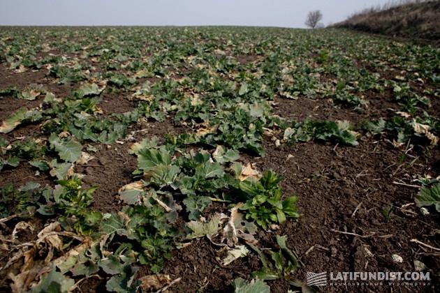 Посевы озимого рапса на поле «АгроКо»